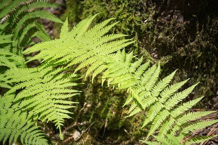 north woods: Wild mountain ferns in North Georgia woods