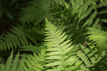 helechos: helechos de monta�a salvaje en los bosques del norte de Georgia