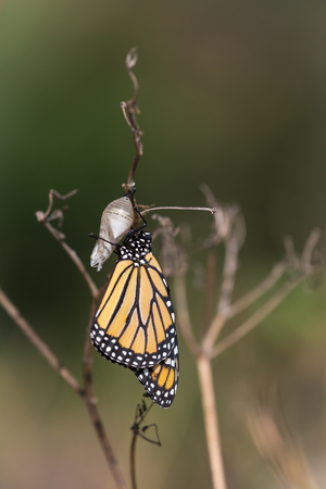 chrysalis: Monarch butterfly and chrysalis