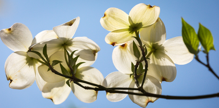 Southern Dogwood trees in spring bloom