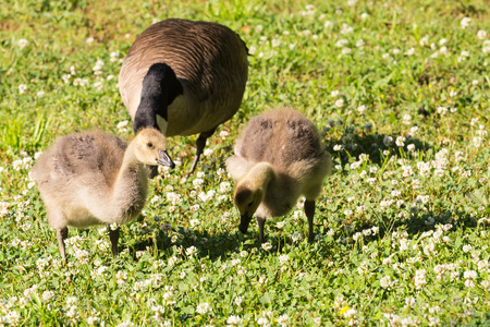 Canada Geese with young spring chicks