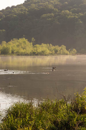Malard ducks on the river in the morning Stok Fotoğraf