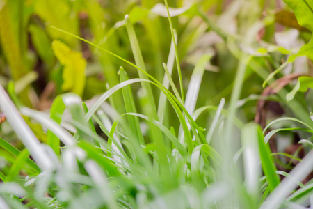 small field: Grass with dry leaves blurred in the background of a small field.  This shows life and death in the same image with youthful young plants in the middle.