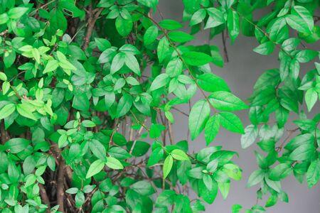 ジャングルの緑は、有機葉で夏に新鮮な酸素を提供できます。屋外のジャングルの緑、木々 の周り造園のために大きいである緑豊かな植生です。 写真素材 - 68826834