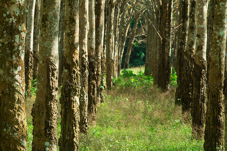 Row of rubber trees in the forest with long tunnel of empty space.  Rubber used to make tires and other items.
