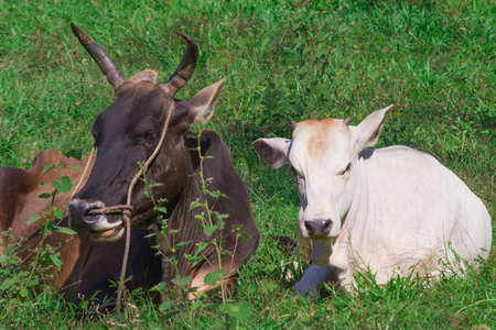 humble: Valentines concept.  Humble happy cow and bull living the simple life.  Animal love and pair bonding.  Black and White in harmony.  Leasure and relaxation cows in field.