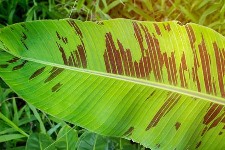 밝은 햇빛과 큰 이국적인 식물의 열 대 잎을 보여주는 정글 녹지 컨셉 사진. 지구 온난화에주의하고이 세상의 숲에서 산소를 질식 시키십시오. 사용 가