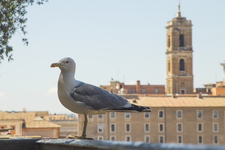 Seagull perched on historic buildings in rome with copyspace.
