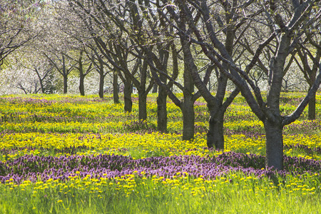 sensation: Spring flowers under apple tree in michigan orchard.  Purple and yellow flowers with bare trees early in the harvest season with copyspace.