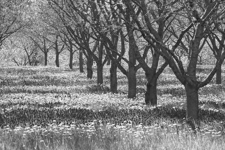 Grey and dismal row of apple trees in orchard in black and white with sad sepia tone dead trees.  Copyspace on left.