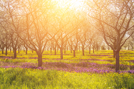 Inspirational and emotional light with warm sensation and row of apple trees with purple and yellow flowers.  Copyspace. Stock Photo