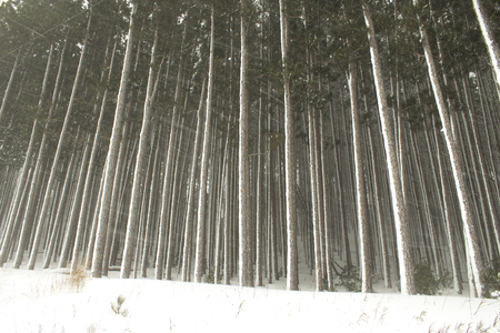 Row of frozen pine trees in winter wonderland with fresh powder snow in the midwest.  January and February fridgid cold.