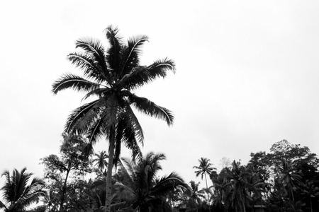 Palm trees blowing in gusty wind in a tropical storm while the warm stormy air gusts the palm tree from side to side.  Dangerous tropical hurricanes and tornadoes.