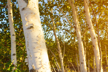 Birch trees with soft gentle wind for relaxing spa and wellness concept. Stock Photo