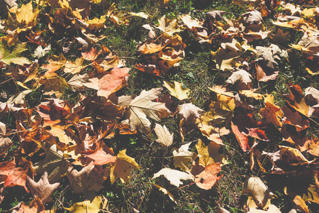 Raking leaves in the autumn fall weather. Stock Photo