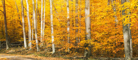 Autumn birch trees with yellow leaves and wide angle. 免版税图像