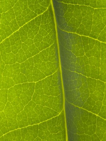 a close up on a leafs veins and pores.