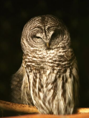 a close up on a spotted owl