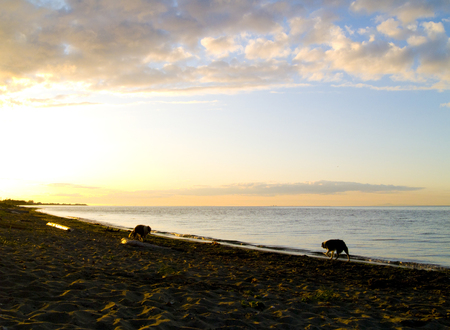 strait of juan de fuca: Two dogs playing on the beach under a golden sunset over the Strait of Juan de Fuca in Sequim, Washington. Stock Photo