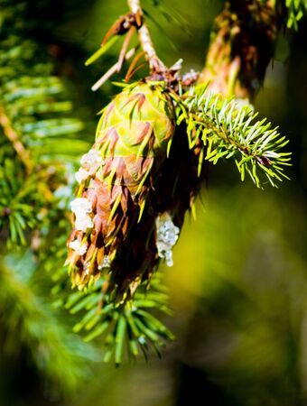 seeping: a close up on a pine cone with sap seeping out of it.