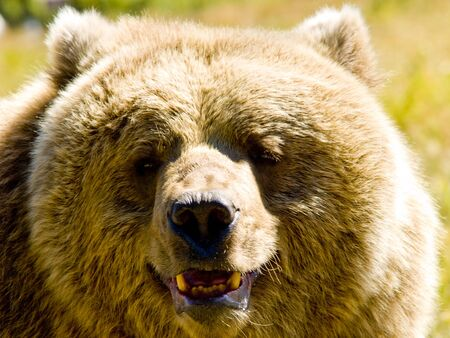 A close up on a big bear. photo