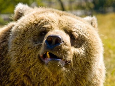 mean: A close up on a big angry bear.