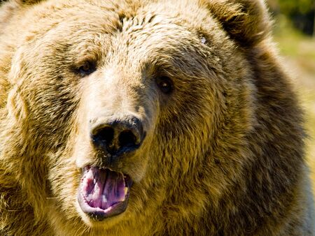 angry bear: Un close up a un gran oso enfadado.