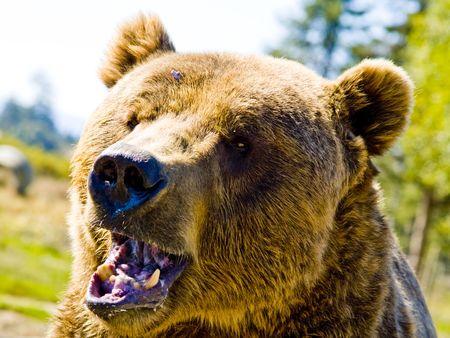 A près d'un gros ours en colère.