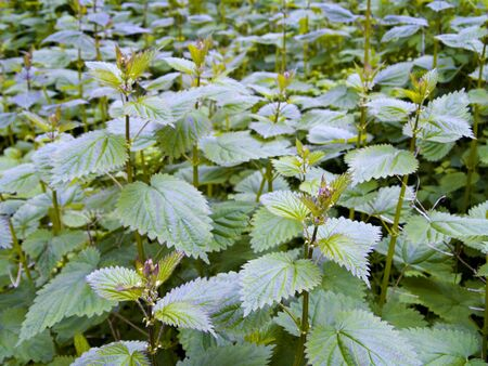 A close up on a cluster of Stinging Nettles (Urtica dioica). Very painful and irritating to the skin if touched. Shallow DOF photo