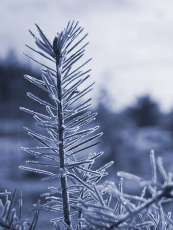 iciness: A close up on a frost covered branch on an early winter morning. Shallow depth of field and blue tone.