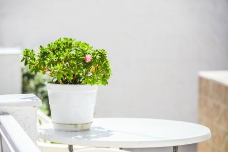 Geraniums in white pots on table in cozy hotel in Santorini photo