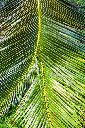 Close-up Large palm leaves photo