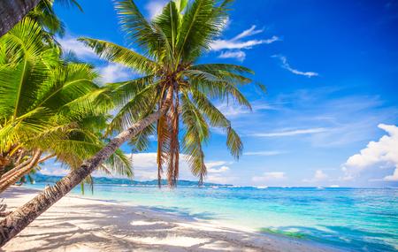 coconut tree: Coconut Palm tree on the white sandy beach