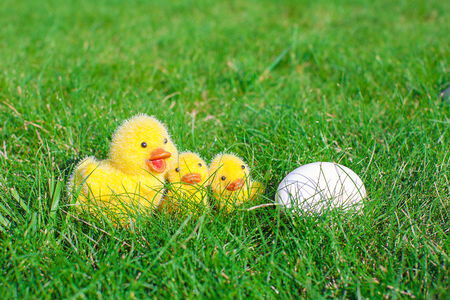 chicken egg: White chicken egg and yellow chickens in green grass