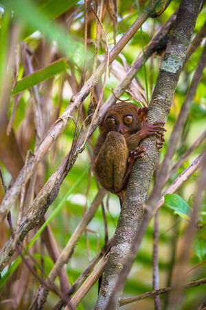 Small funny tarsier on the tree in the natural environment on the island of Bohol,Philippines photo