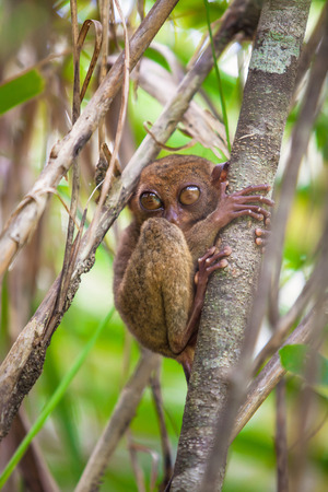 freaked: Small funny tarsier on the tree in the natural environment on the island of Bohol,Philippines