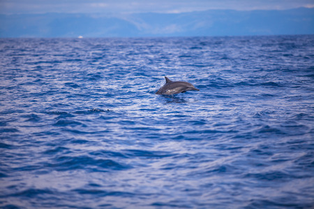 bounding: Dolphins swimming in open sea, Bohol, Philippines