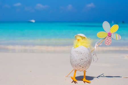Small yellow chicken and shell on white beach in the Caribbean photo