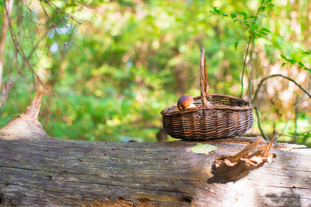 fungous: Big basket with mushrooms on old tree in autumn forest