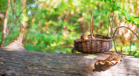 fungoid: Big basket with mushrooms on old tree in autumn forest