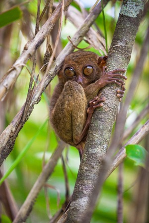 freaked: Small cute tarsier on tree in natural environment at Bohol island, Philippines