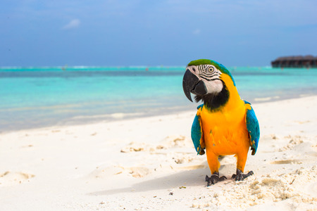 Cute bright colorful parrot on the white sand in the Maldives Stock Photo