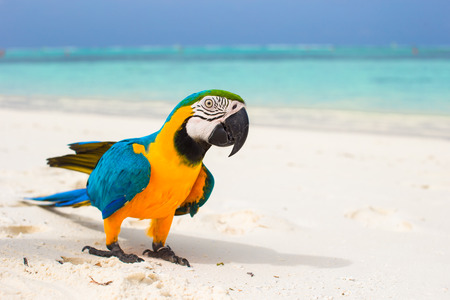 Cute bright colorful parrot on the white sand in the Maldives 스톡 콘텐츠