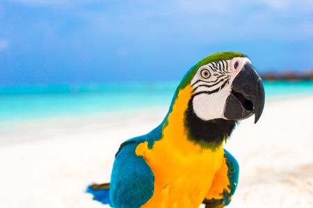 loro: Loro colorido lindo en la arena blanca en las Maldivas