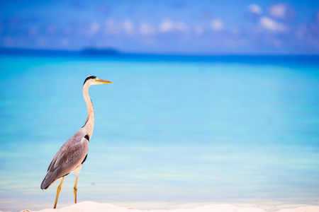 island: Grey heron standing on the beach on Maldives island