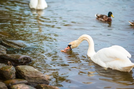 Beautiful swans in Prague river Vltava and Charles Bridge on the background