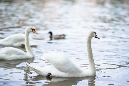 vltava: Beautiful swans in Prague river Vltava and Charles Bridge on the background
