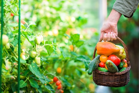 woman's hands: Close-up of a basket greens in womans hands Stock Photo