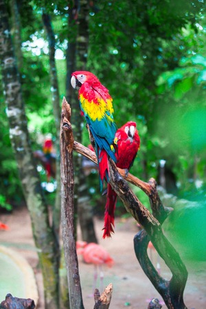 Two colorful bright red parrots Ara at tropical island Stock Photo