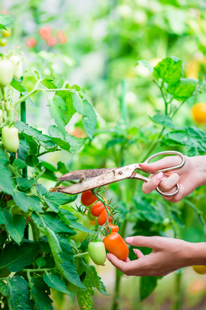 Red tomatoes in greenhouse, Woman cuts off her harvest Stock Photo